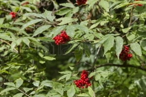 Wild fruits in a green forest